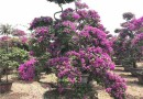 福建三角梅价格 紫花造型三角梅批发
