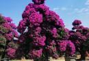 福建紫花造型三角梅价格