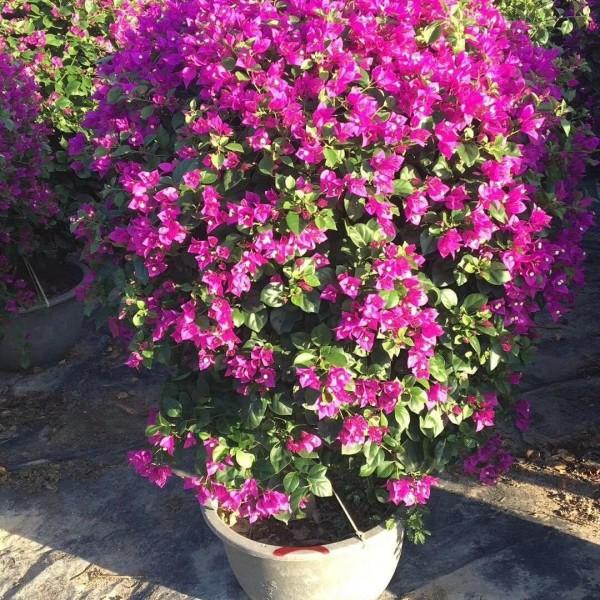 精品紫色三角梅球1米高价格
