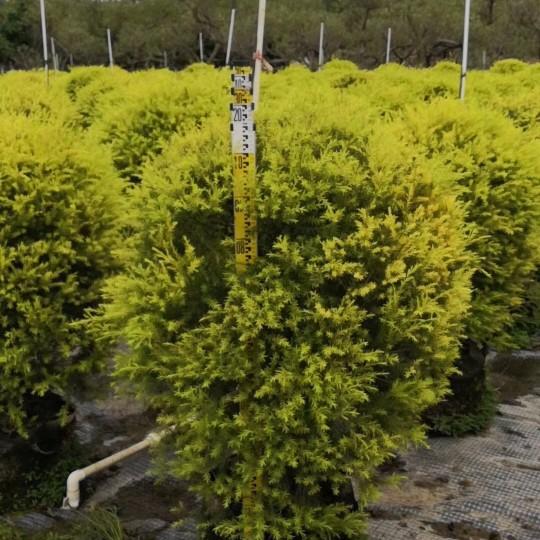 黃金香柳球1米到1.2米