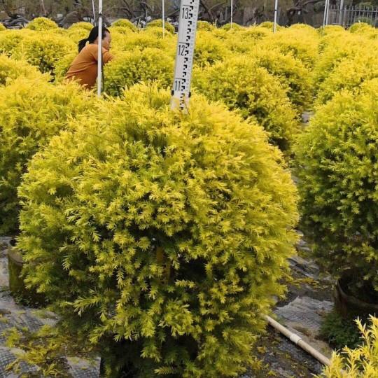 黃金香柳球1米高度