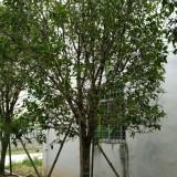 1.5米高桂花
