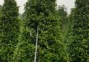 3米高精品火山榕
