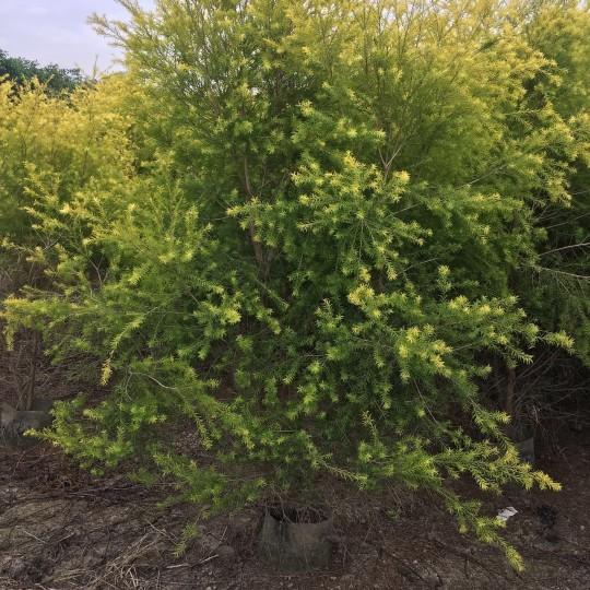 2米高黃金寶樹/黃金香柳