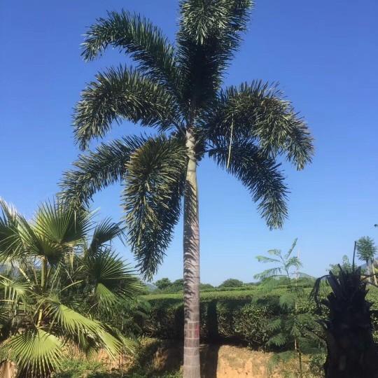 狐尾椰子5米高批發價格