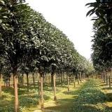 靖江桂花树
