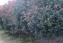 靖江红叶石楠树
