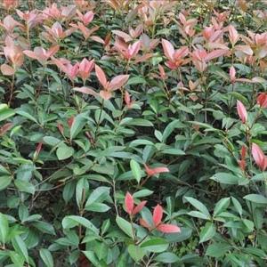 靖江6公分红叶石楠树价格
