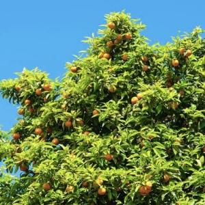 靖江7cm香橼树
