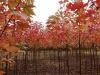 靖江-美国红枫