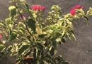 花叶三角梅