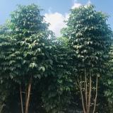 海南基地直供绿宝树 幸福树