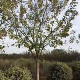 5-15公分金叶复叶槭