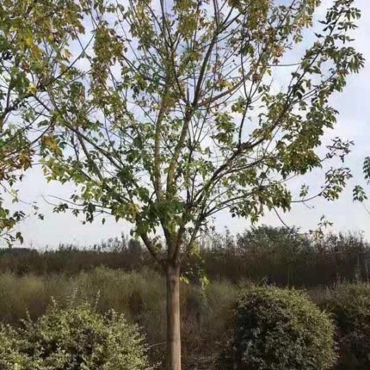 5-15公分金葉復葉槭
