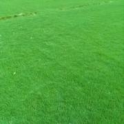 百慕大草坪