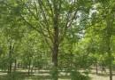 美国红枫5-15公分