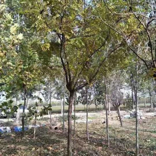 3-18公分北京栾树