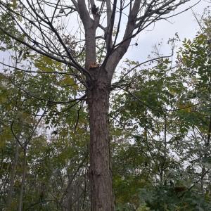 9公分楸树(带土球)