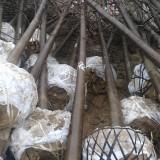 14公分楸树(带土球)