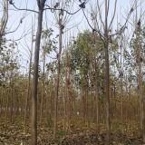11公分楸树(带土球)