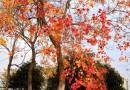 15公分乌桕树