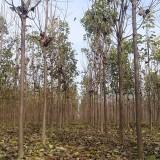 11公分梓树(带土球)