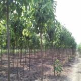 5公分梓树