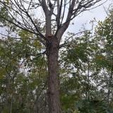 15公分梓树(带土球)