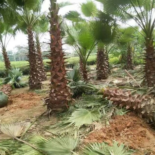 福建华盛顿棕榈优质老人葵 10公分老人葵价格