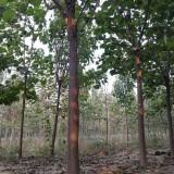 14公分梓树(带土球)