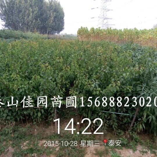 1-3公分杏树树苗