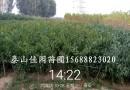 山西李子苗,1.5米李子树