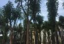 15公分秋枫