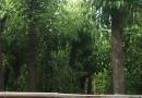 12公分骨架香樟