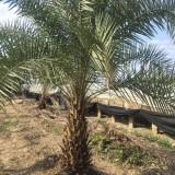 优质中东海枣1米高