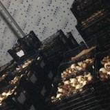 荷兰郁金香种球