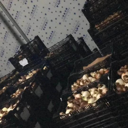 荷蘭郁金香種球