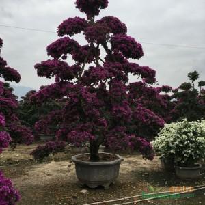 高3米紫花三角梅