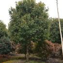 3-6米桂花