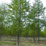10-16公分水杉