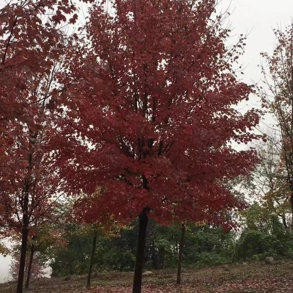 10-12公分美国红枫