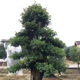 造型欏木石楠