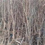 供应软籽石榴苗