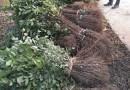 1米高榉树小苗,基地批发