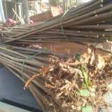 高3米香椿苗