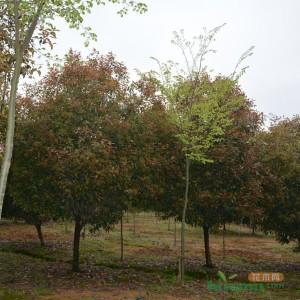 6-14公分红叶石楠
