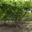 8-25公分鸡爪槭