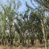 40-80公分丛生朴树
