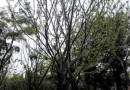 榔榆(多种规格有售)