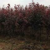 米径2-10公分红叶李